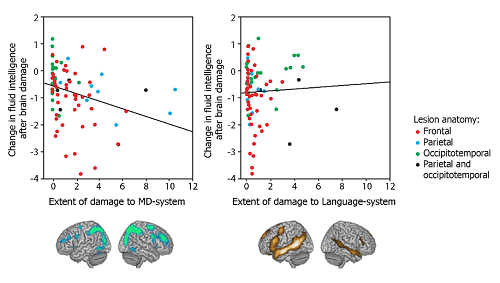 Do we need language to think? Damage to executive brain regions causes fluid intelligence loss, but damage to language regions doesn't