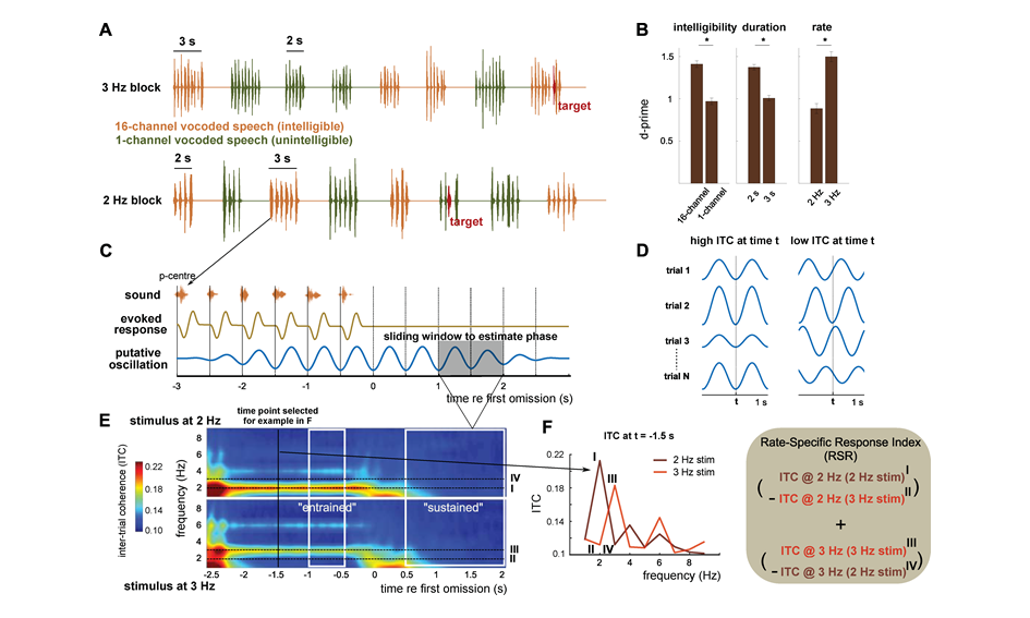 Keeping the beat: how the brain processes the rhythms of speech